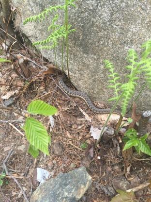Shy Snake- Mount Monadnock